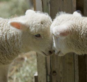 iStock_lambs_head2head_ppt