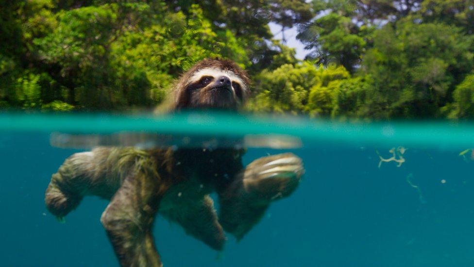 Zwergfaultier am Schwimmen. Bild wurde an Wasseroberfläche aufgenommen. Die eine Hälfte des Bildes zeigt den Körper des Faultiers im Wasser, die andere Hälfte den Kopf des Faultiers über dem Wasser. Im Hintergrund Laubbäume.