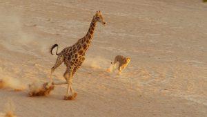 Eine Löwin jagt in der Wüste eine Giraffe.