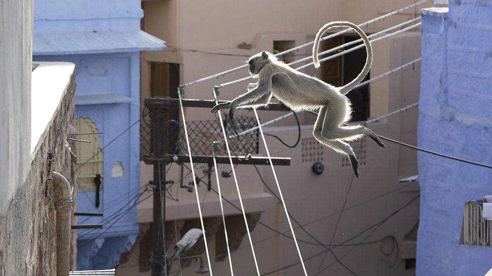 Ein Affe springt in einer Stadt vom einen Hausdach zum nächsten und springt dabei über Telefon- oder Stromkabel.